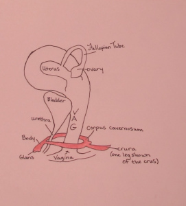 Clitoris drawn from side.  Pic from http://blog.museumofsex.com/the-internal-clitoris/